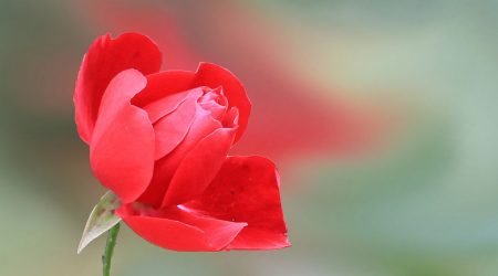 Paterson #11 Zmitrężyć róże